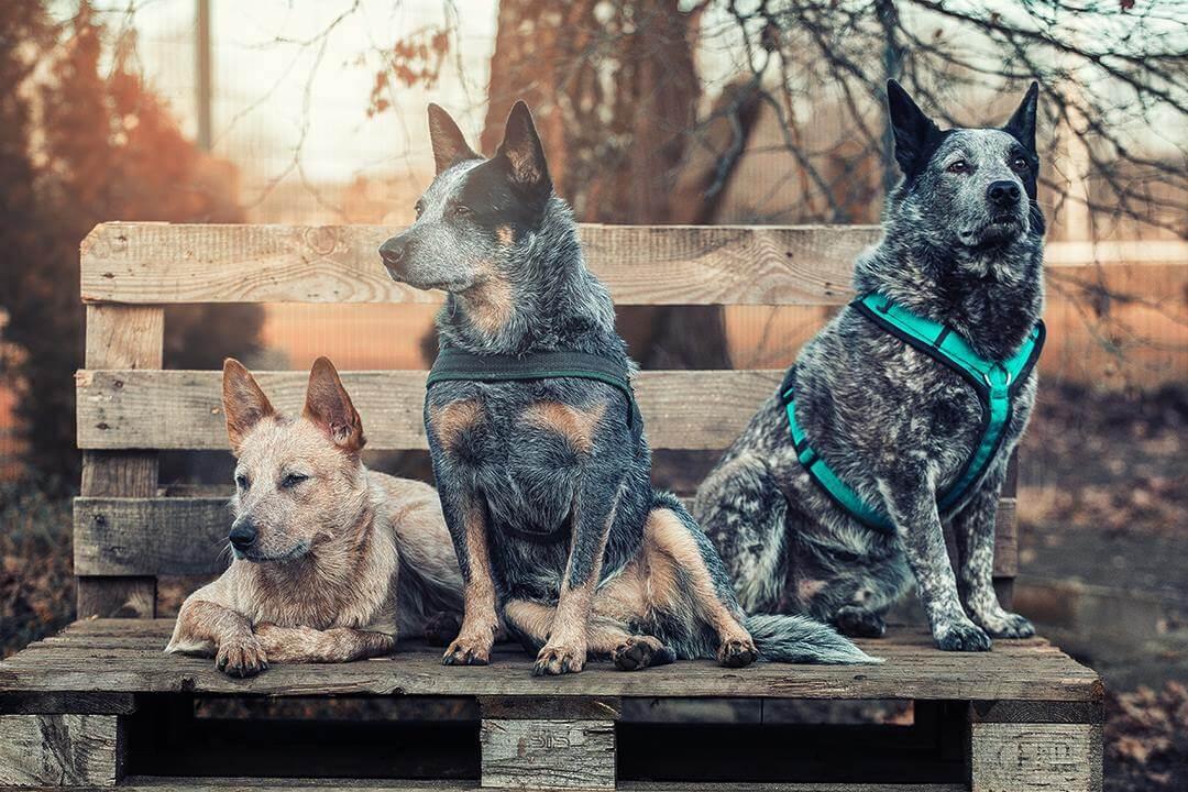 Drei Cattle Dogs posieren