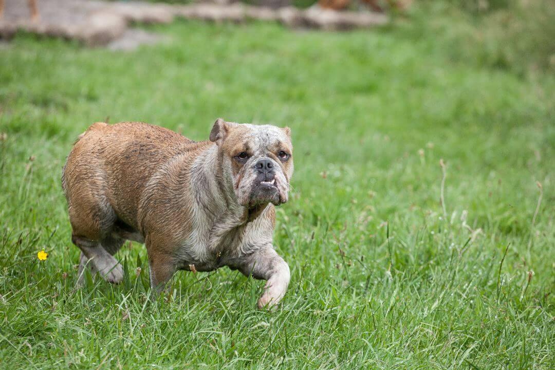 Schmutzige süsse Bulldogge