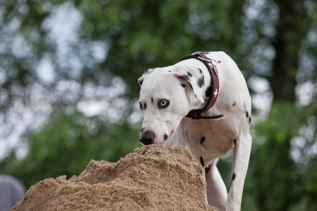 Hund schnuppert im Sand
