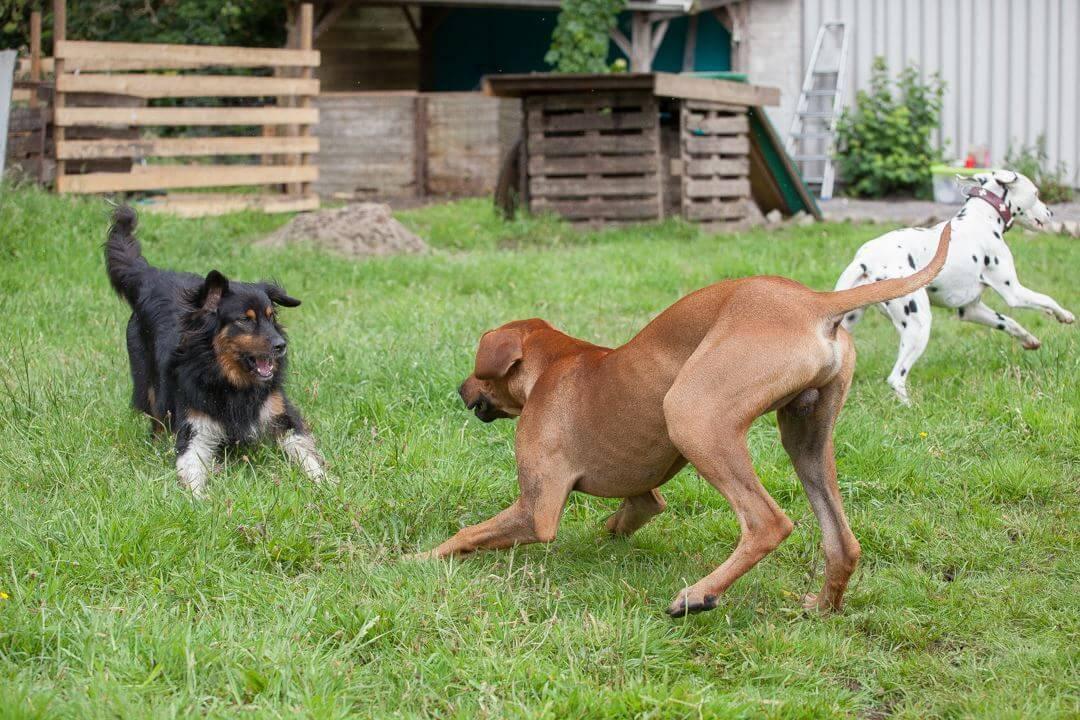 Hunde spielen im Auslauf