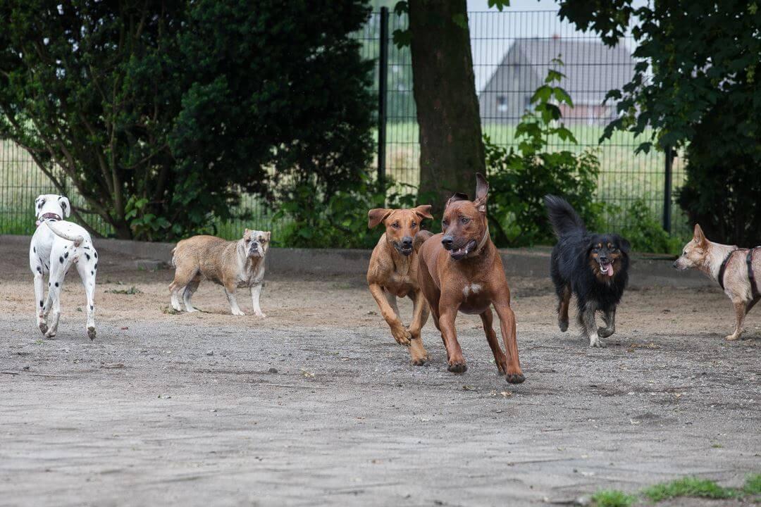 Hunde spielen beim Hundetreff
