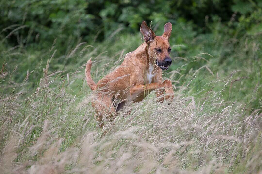 Hund springt durch das Feld