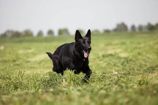Schäferhund in der Huta Dinslaken