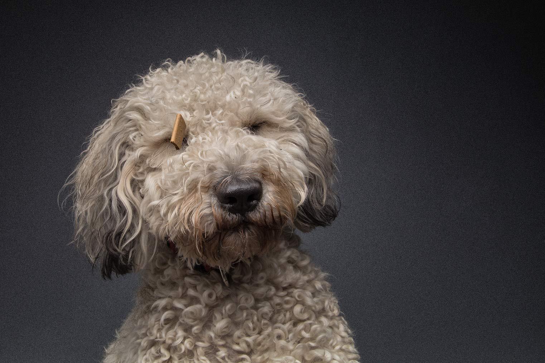 Hund mit Locken
